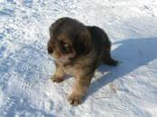 Собаки, щенки Тибетский мастиф, цена 15 000 рублей, Фото