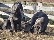 Собаки, щенки Мастино наполетано, цена 40 000 рублей, Фото