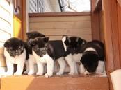 Собаки, щенки Американский акита, цена 20 000 рублей, Фото