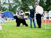 Собаки, щенки Черный терьер, цена 20 000 рублей, Фото
