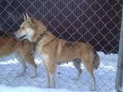 Собаки, щенки Западно-Сибирская лайка, цена 10 000 рублей, Фото