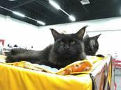 Кошки, котята Мэйн-кун, цена 29 000 рублей, Фото