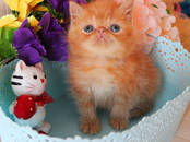 Кошки, котята Экзотическая короткошерстная, цена 18 000 рублей, Фото
