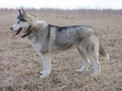 Собаки, щенки Сибирский хаски, цена 5 000 рублей, Фото