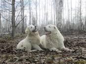 Собаки, щенки Польская подхаланская овчарка, цена 20 000 рублей, Фото