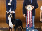 Собаки, щенки Большой Швейцарский зенненхунд, цена 50 000 рублей, Фото