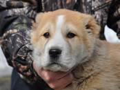 Собаки, щенки Среднеазиатская овчарка, цена 15 000 рублей, Фото
