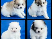 Собаки, щенки Померанский шпиц, цена 70 000 рублей, Фото