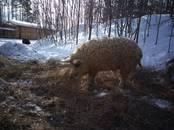 Животноводство,  Сельхоз животные Свиньи, цена 12 000 рублей, Фото