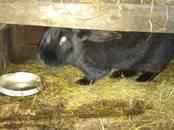 Грызуны Кролики, цена 400 рублей, Фото