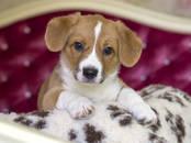 Собаки, щенки Вельш корги кардиган, цена 50 000 рублей, Фото
