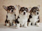 Собаки, щенки Вельш корги пемброк, цена 40 000 рублей, Фото