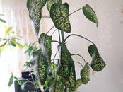 Домашние растения Дифенбахии, цена 1 500 рублей, Фото