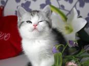 Кошки, котята Шотландская короткошерстная, цена 5 000 рублей, Фото