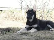 Собаки, щенки Восточно-Европейская овчарка, цена 25 000 рублей, Фото
