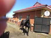 Животноводство,  Сельхоз животные Лошади, ослы, др., цена 90 000 рублей, Фото