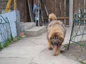 Собаки, щенки Тибетский мастиф, цена 30 000 рублей, Фото