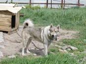 Собаки, щенки Западно-Сибирская лайка, цена 10 рублей, Фото