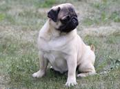 Собаки, щенки Мопс, цена 350 рублей, Фото