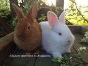 Грызуны Кролики, цена 1 000 рублей, Фото