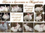 Грызуны Кролики, цена 500 рублей, Фото