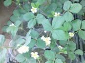 Домашние растения Садовые растения, цена 15 рублей, Фото