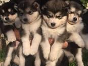 Собаки, щенки Аляскинский маламут, цена 10 000 рублей, Фото