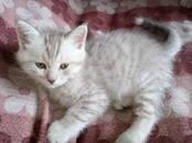 Кошки, котята Шотландская вислоухая, цена 2 500 рублей, Фото