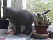 Кошки, котята Русская голубая, цена 10 рублей, Фото