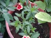 Домашние растения Садовые растения, цена 50 рублей, Фото
