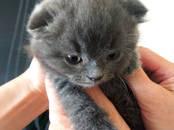 Кошки, котята Шотландская вислоухая, цена 6 500 рублей, Фото