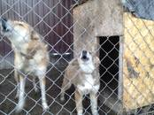 Собаки, щенки Западно-Сибирская лайка, цена 4 000 рублей, Фото