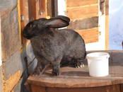 Животноводство,  Сельхоз животные Кролики, Нутрии, цена 500 рублей, Фото