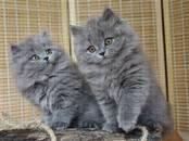 Кошки, котята Британская длинношёрстная, цена 15 000 рублей, Фото