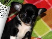 Собаки, щенки Чихуа-хуа, цена 20 000 рублей, Фото