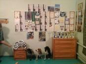 Собаки, щенки Русский спаниель, цена 15 000 рублей, Фото