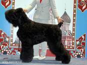 Собаки, щенки Черный терьер, цена 30 000 рублей, Фото