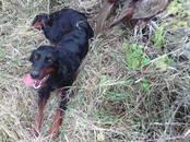 Собаки, щенки Сеттер-гордон, цена 15 000 рублей, Фото