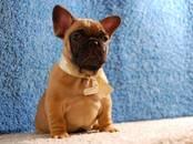 Собаки, щенки Французский бульдог, цена 10 000 рублей, Фото