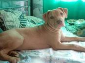 Собаки, щенки Американский стаффордширский терьер, цена 23 000 рублей, Фото