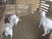 Животноводство,  Сельхоз животные Козы, цена 1 400 рублей, Фото
