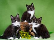 Кошки, котята Норвежская лесная, цена 35 000 рублей, Фото