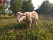 Животноводство,  Сельхоз животные Бараны, овцы, цена 25 000 рублей, Фото