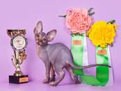 Кошки, котята Канадский сфинкс, цена 15 000 рублей, Фото
