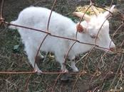 Животноводство,  Сельхоз животные Козы, цена 2 000 рублей, Фото