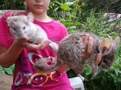 Грызуны Шиншиллы, цена 1 000 рублей, Фото