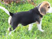 Собаки, щенки Бигль, цена 30 000 рублей, Фото