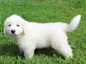 Собаки, щенки Пиренейская горная собака, цена 30 000 рублей, Фото