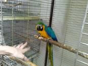 Попугаи и птицы Попугаи, цена 80 000 рублей, Фото