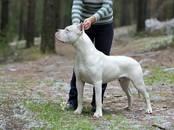 Собаки, щенки Аргентинский дог, цена 45 000 рублей, Фото